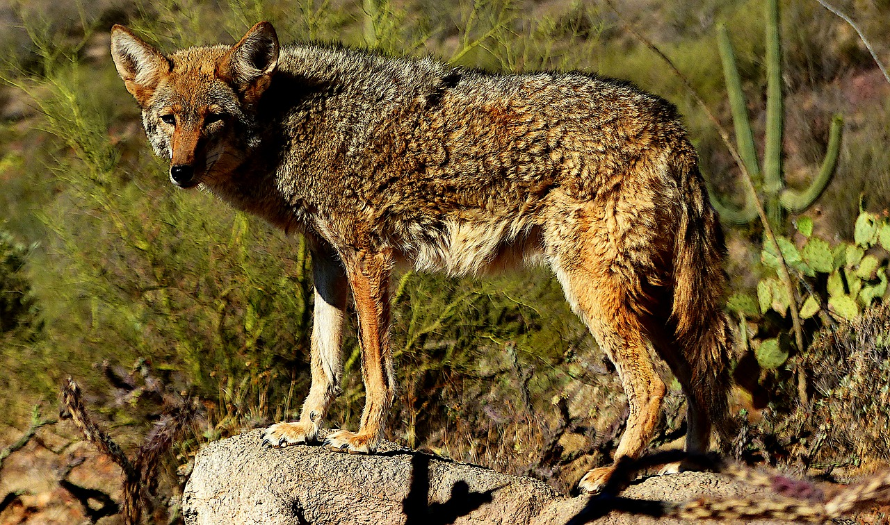 Coyote Population are Spotted Around The Gateway to the West